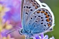 Silver-studded blue (Plebeius argus), Blankenheim (D)