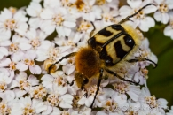 Chafer beetle ♂ (Trichius fasciatus), Cochum (D)