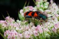 Checkered beetle (Trichodes alvearius), Cochum (D)