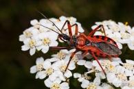 Assassin bug (Rhynocoris iracundus), Cochum (D)