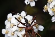 Assassin bug (Rhynocoris  erythropus), Cochum (D)