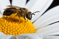 Bee (Apoidae spec.), Cochum (D)