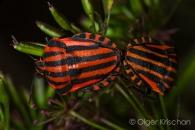 Striped shield bug (Graphosoma lineatum), Cochum (D)