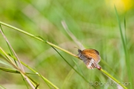 Pearly heath (Coenonympha arcania), Dollendorf (D)