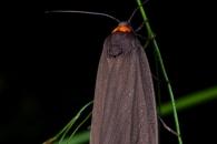 Red-necked footman (Atolmis rubricollis), Höffen (D)