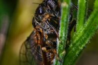 Cicade (Cicadidae spec.), Klotten (D)