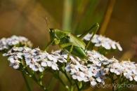 Bush cricket (Tettigonidae spec.), Klotten (D)