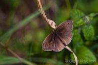 Meadow brown (Maniola jurtina), Klotten (D)