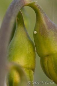 Eitjes Tijgerblauwtje (Lampides boeticus), 1-4 dagen oud