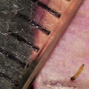 Foto 53: lengte rupsje ~ 1,2mm