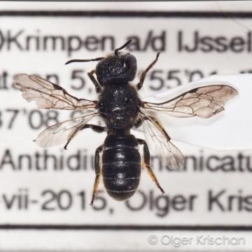 Tronkenbij ♀ (Heriades truncorum)