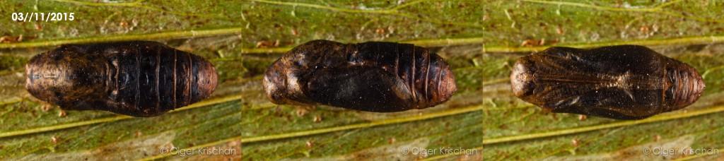 pop (22 dagen oud, boven-zij-onder-aanzicht, kop links) Tijgerblauwtje (Lampides boeticus)