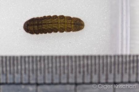rups Tijgerblauwtje (Lampides boeticus) , 4e instar
