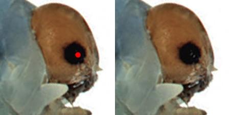 Bladwesp bastaardrups (Xenapates braunsi), zijaanzicht met 1 stemmatum (enkelvoudig oog)