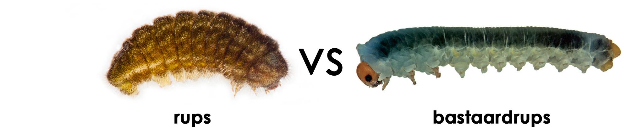 Rups (5e instar) Tijgerblauwtje (Lampides boeticus) vs bastaardrups (Xenapates braunsi)