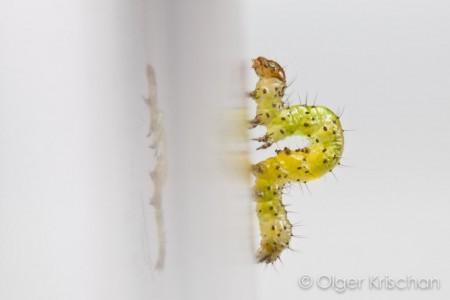Agaatvlinder (Phlogophora meticulosa), rups 1e instar