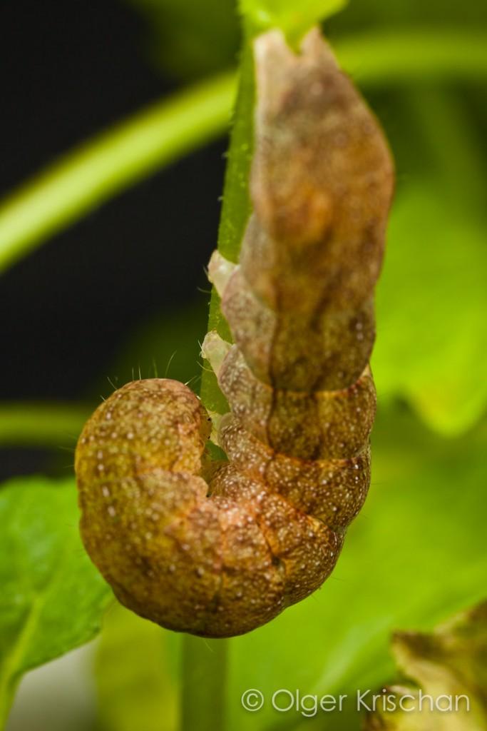 Agaatvlinder (Phlogophora meticulosa), 5e instar, verstoord