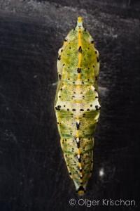 Groot koolwitje (Pieris brassicae), pop 3 (1 dag oud)