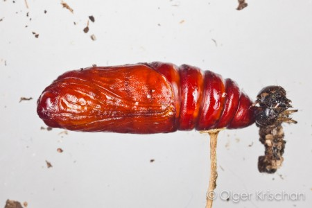 Agaatvlinder (Phlogophora meticulosa), pop, rups nr 3