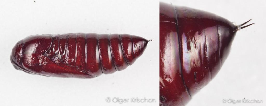 Agaatvlinder (Phlogophora meticulosa), pop met cremaster