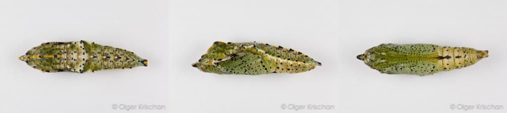 Groot koolwitje (Pieris brassicae), pop boven-, zij- en onderaanzicht, 2 dagen oud