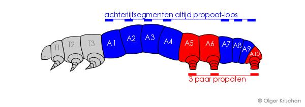 Agaatvlinder 1e en 2e instar propoot configuratie is een spanrups configuratie