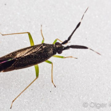 Wants, imago (Himiptera spec. larvae)