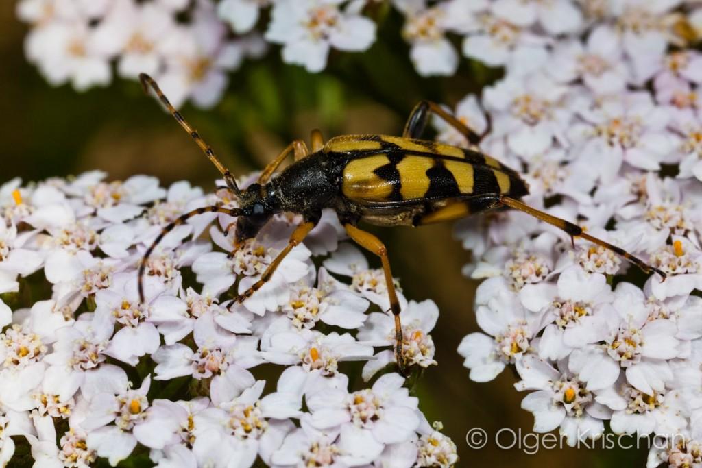 Geringelde smalboktor (Rutpela maculata), Cochum (D)