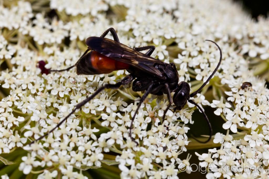 Zaagpootspinnendoder (Priconemis sp.), Cochum (D)