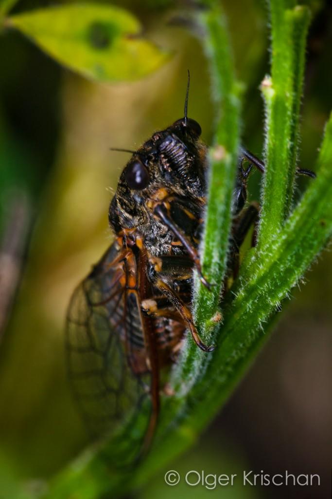 Cicade (Cicadoidae spec.), Klotten (D)