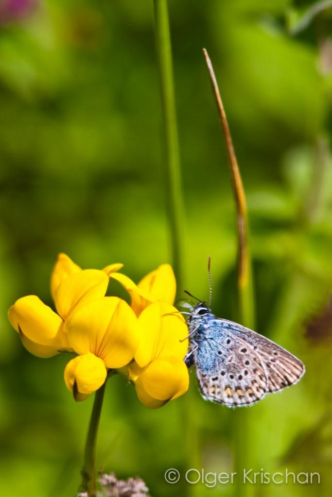 Icarusblauwtje (Polyommatus icarus), Dollendorf (D)