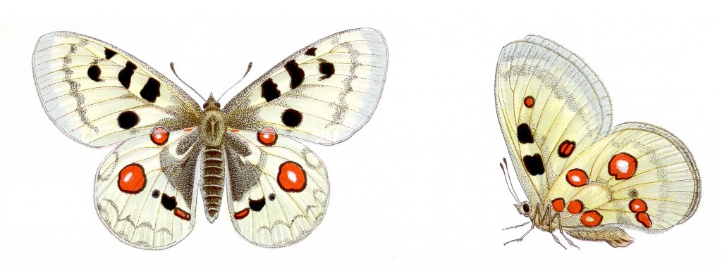 Apollo vlinder (Parnassius apollo)