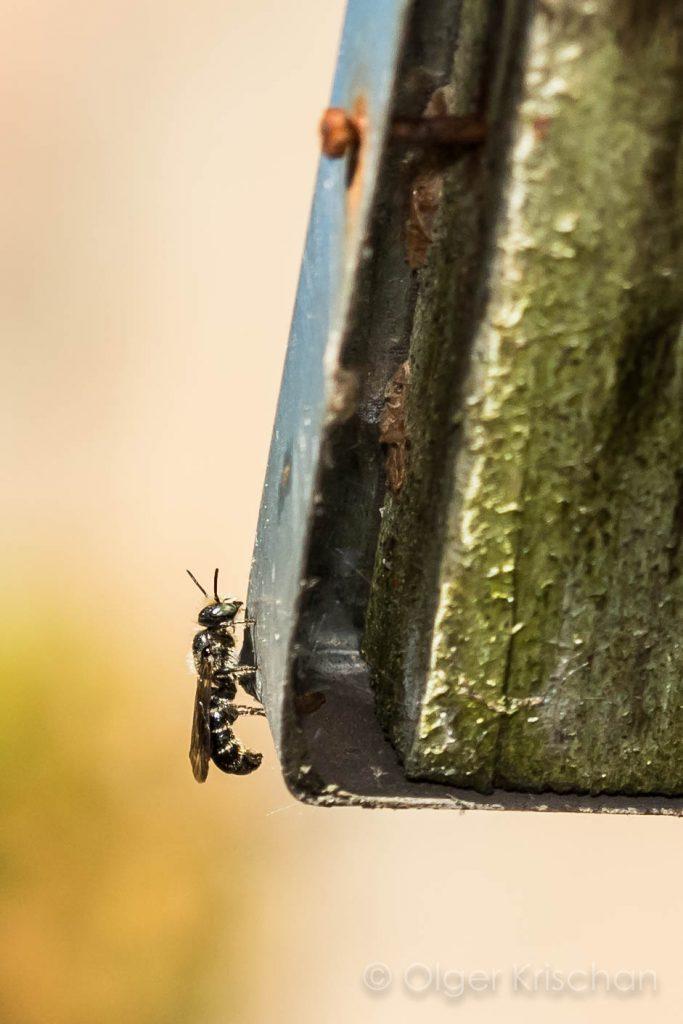 Grote klokjesbij ♂︎ (Chelostoma rapunculi)