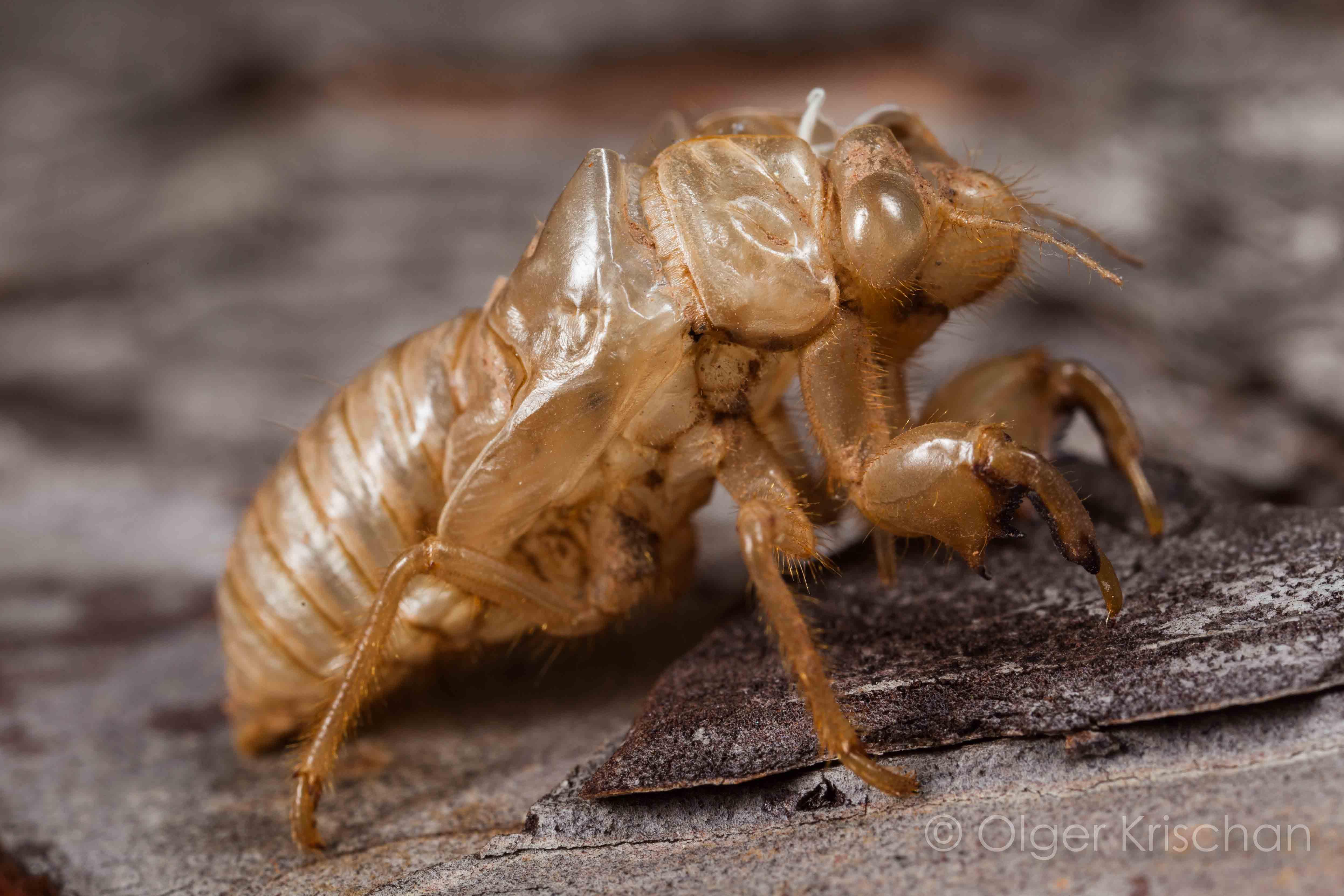 Vervelling Zangcicade (Cicada orni)
