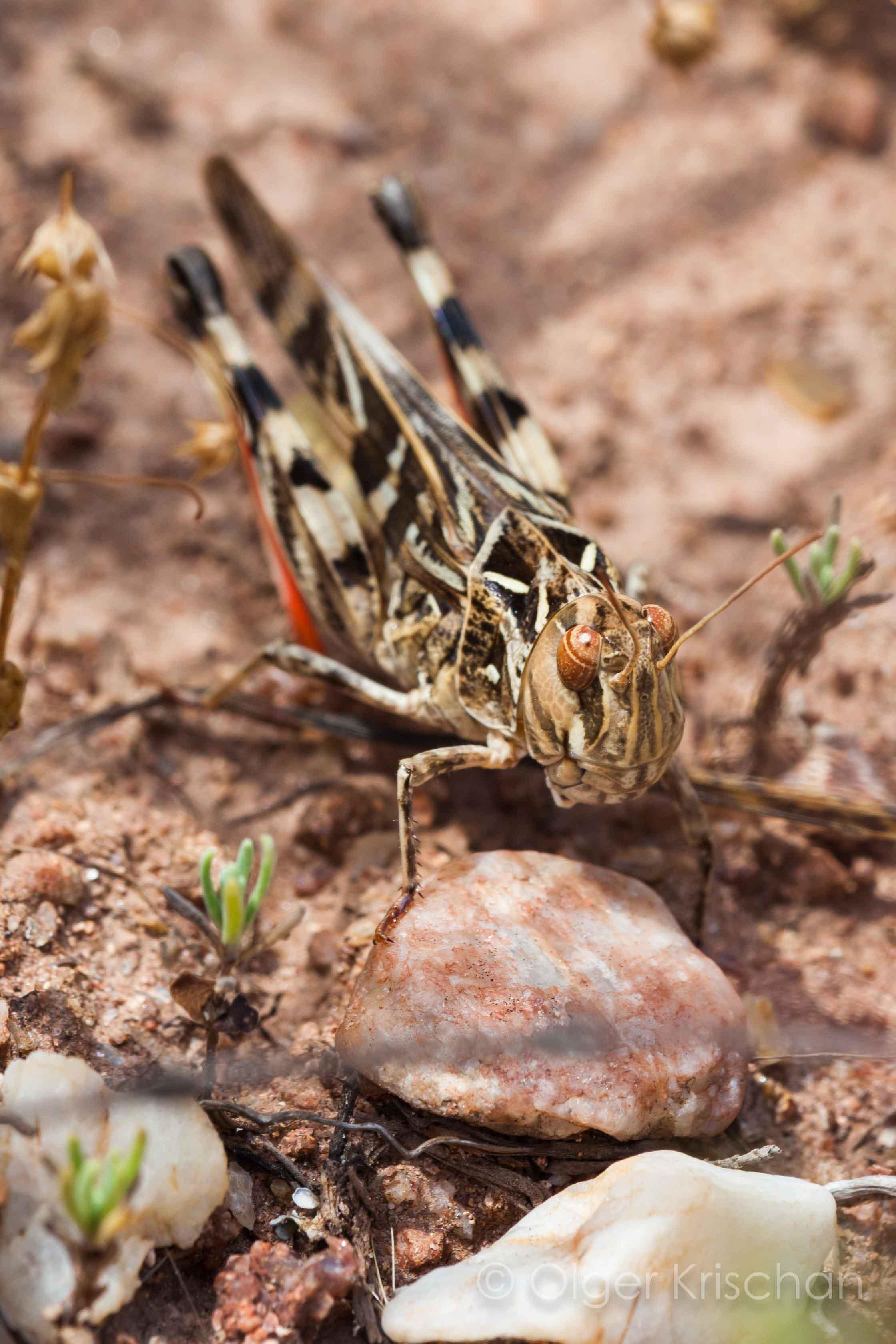 Veldsprinkhanen ♂︎  (Acrididaea spec.)