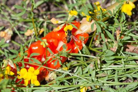 Behangersbij ♀ (Megachile spec.) op Moerasrolklaver (Lotus pedunculatus)
