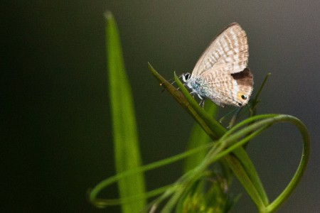 Tijgerblauwtje ♀ (Lampides boeticus) op Brede lathyrus (Latyrus latifolius)
