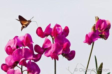 Kolibrievlinder (Macroglossum stellatarum) op Brede lathyrus (Latyrus latifolius)
