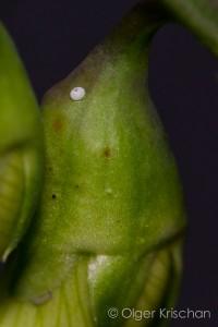 Eitje en rups Tijgerblauwtje (Lampides boeticus), 3-6 dagen oud