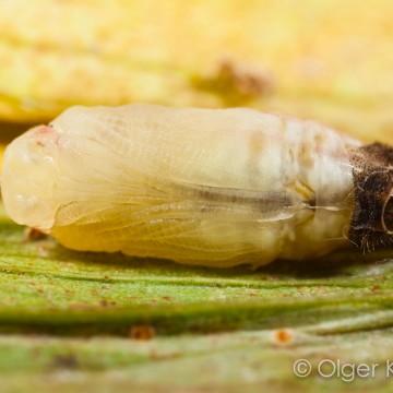 pop (±9 minuten oud, onderaanzicht, kop links) Tijgerblauwtje (Lampides boeticus)