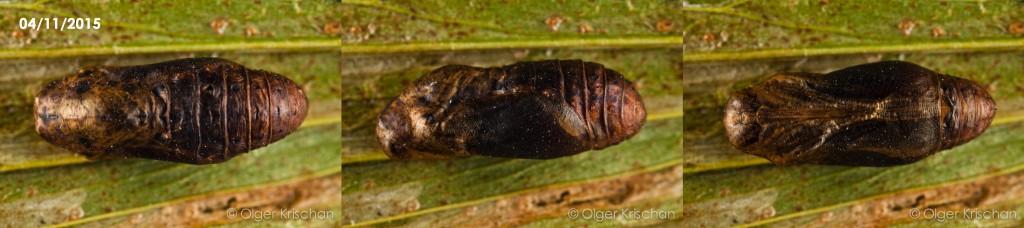pop (23 dagen oud, boven-zij-onder-aanzicht, kop links) Tijgerblauwtje (Lampides boeticus)