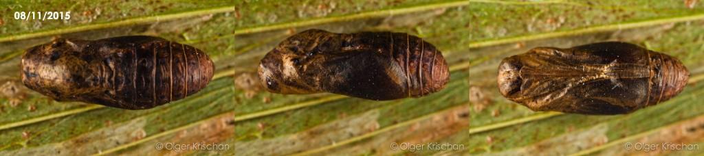 pop (27 dagen oud, boven-zij-onder-aanzicht, kop links) Tijgerblauwtje (Lampides boeticus)