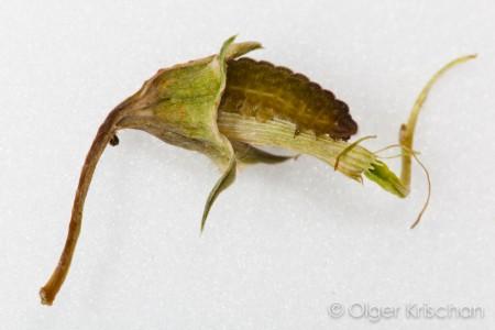rups (5e instar) Tijgerblauwtje (Lampides boeticus) op peul Brede lathyrus (Latyrus latifolius)
