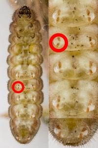 Crochets op voeten, onderaanzicht rups (5e instar) Tijgerblauwtje (Lampides boeticus)