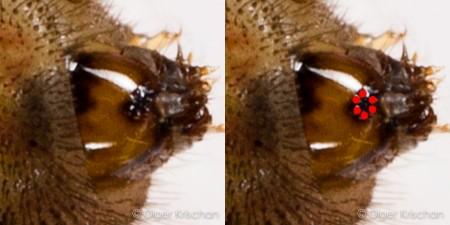 zijaanzicht kop rups (5e instar) Tijgerblauwtje (Lampides boeticus) met 6 stemmata (enkelvoudige ogen)