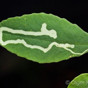 Bladmijn (waarschijnlijk van Diptera)