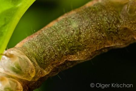 Agaatvlinder (Phlogophora meticulosa), 5e instar, groene kleur door plantenmateriaal in spijsverteringsorgaan