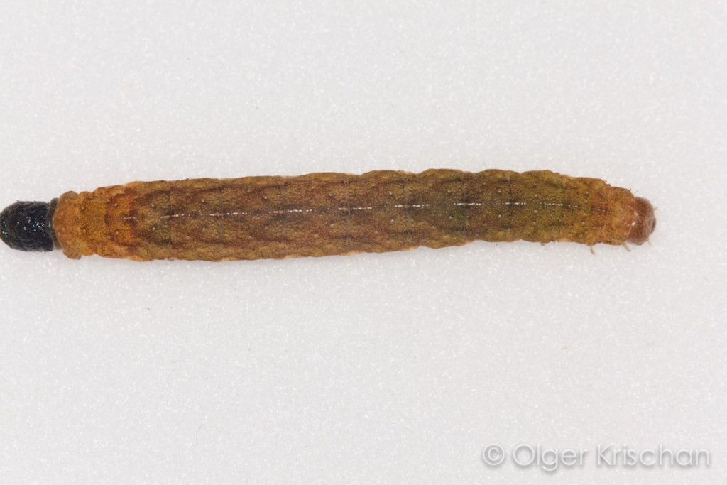Large yellow underwing (Phlogophora meticulosa), 5e instar, poepend
