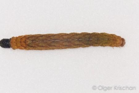 Agaatvlinder (Phlogophora meticulosa), 5e instar, poepend