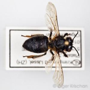 Honingbij ♀ (Apis mellifera) - collectie: Olger Krischan Plataan, id: ORK-Pxxx